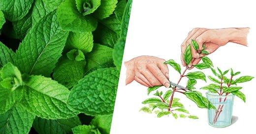 10 raisons pour lesquelles vous devriez commencer à cultiver de la menthe à la maison (et comment le faire)