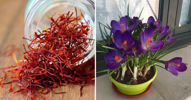 Comment faire pousser du safran à la maison et avoir un approvisionnement infini