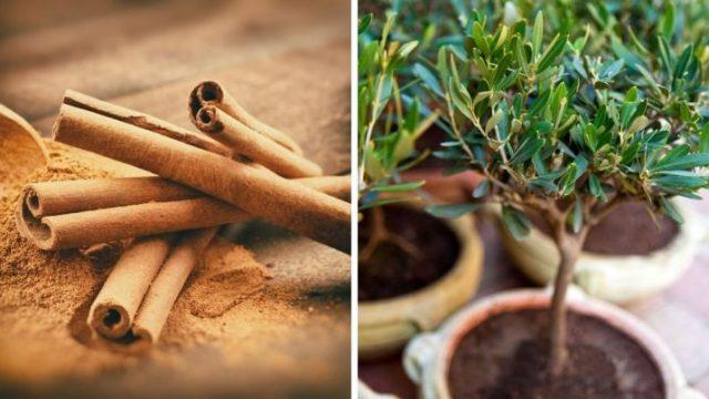 Comment faire pousser de la cannelle à la maison et en avoir une quantité infinie