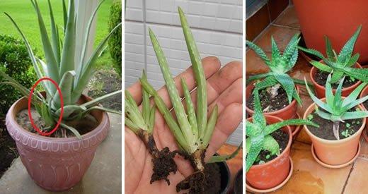 Comment faire pousser de l'aloe vera à la maison et avoir un approvisionnement sans fin