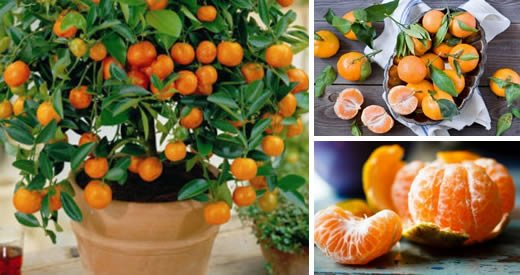 Comment planter des mandarines à la maison pour avoir un approvisionnement infini