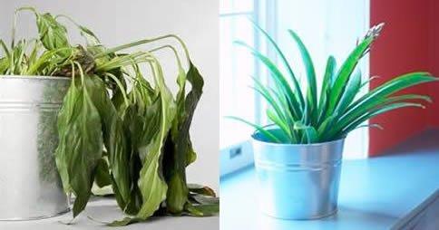Comment récupérer une plante sèche
